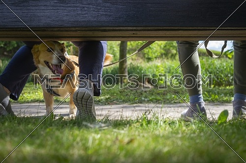 Little dog on a lead lying panting between the legs of its owners outdoors in a garden or park with selective focus at ground level