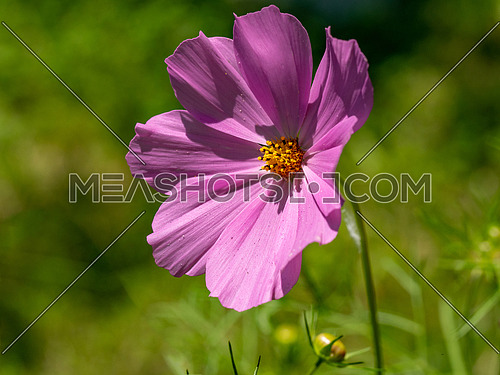 Pink summer cosmos flower - in Latin Cosmos Bipinnatus - at the summer meadow, selective focus at the Cosmos flower.
