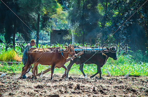 a farmer and his two cows in the filed