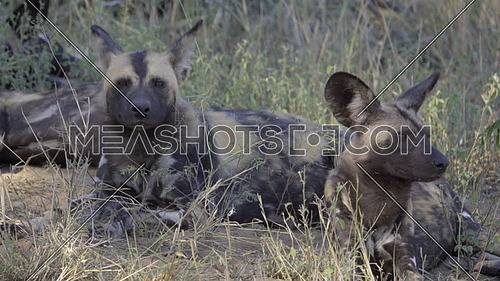 Scene of two painted wolves resting under a tree