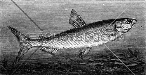 The Fera, vintage engraved illustration. Magasin Pittoresque 1869.