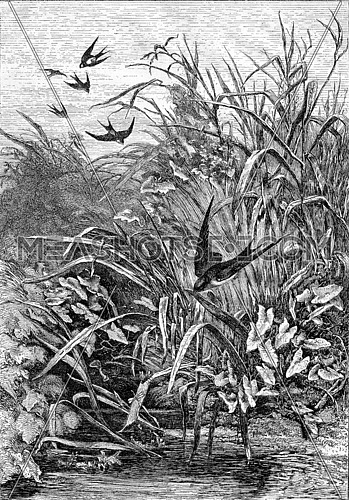 Swallow, vintage engraved illustration. Magasin Pittoresque 1867.
