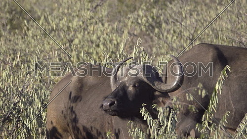 Scene of a Cape Buffalo smelling for predators