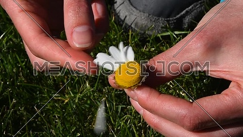 High angle view close up of young woman hands pick off and rip out petals of chamomile flower in French game called He loves me, he loves me not, sunn