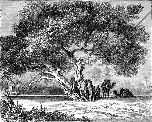 The Tree of Egypt Virgin, vintage engraved illustration. Magasin Pittoresque 1870.