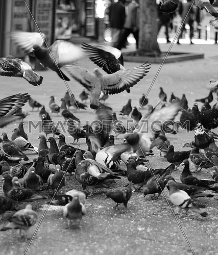 A group of wild pigeons flying and aiming and eating their food
