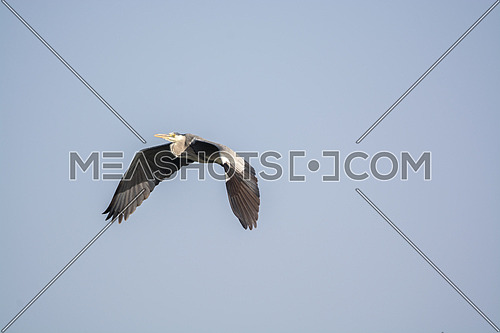 Grey Heron flying in the sky