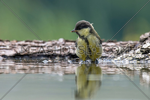 Cute Great tit (Parus major) bird drinking from a small pond in the forest
