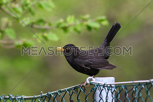 Blackbird with open beak on a chain link fence against a blurred green background