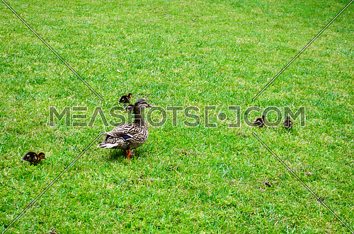 A duck and her babies walking on the grass