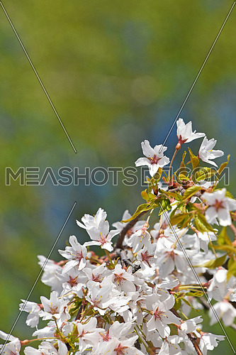 Branch of white cherry blossom sakura flowers with fresh new buds over background of blue sky and green spring leaves