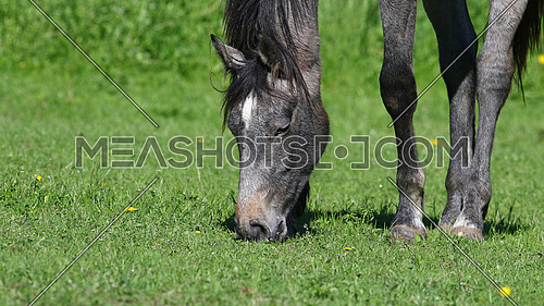 Gray horse grazing in green field with yellow dandelion flowers, nature background