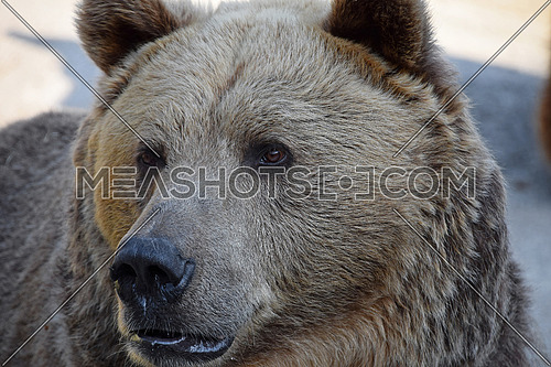 Close up portrait of Eurasian brown bear (Ursus arctos) adult male looking at camera