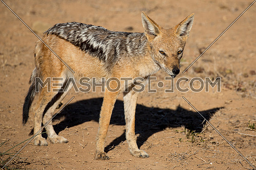 Wild Black Backed Jackal in arid land in South Africa