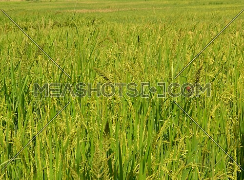 Rice in Yellow Rice Fields Ready for Harvest, a Sparrow Standing on the Stem of Rice to Eat Grain