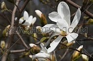 One white magnolia flower tremble in the wind over brown and gray background of trees and flowers, side view, close up, Full HD 1080