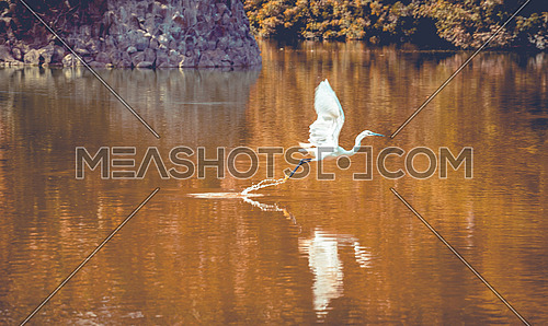 Great Egret Flying from a lake