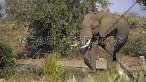 View of a large sleepy bull elephant drowsing at a waterhole