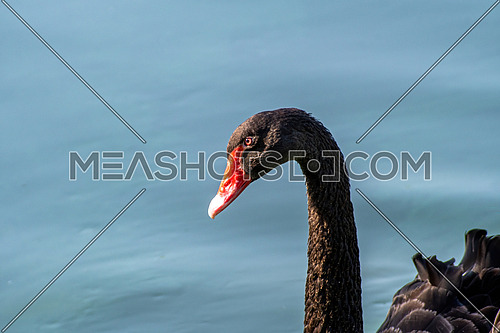 Gorgeous black swan with a red beak swimming in a pond.