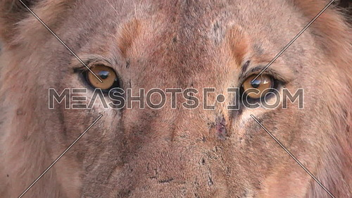 View of looking into the eyes of a deadly predator