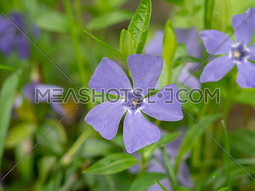 Blue lesser periwinkle Vinca minor flowers and leaves close up .Is a genus of flowering plants in the family Apocynaceae, native to Europe.Ii Is important in medicine