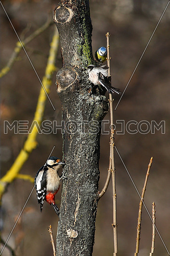 A great spotted woodpecker, a blue tit and a long-tailed bush tit meet on the same tree, making it a little crowded