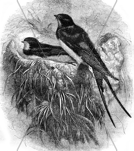 Swallow and its nest, vintage engraved illustration. Magasin Pittoresque 1870.