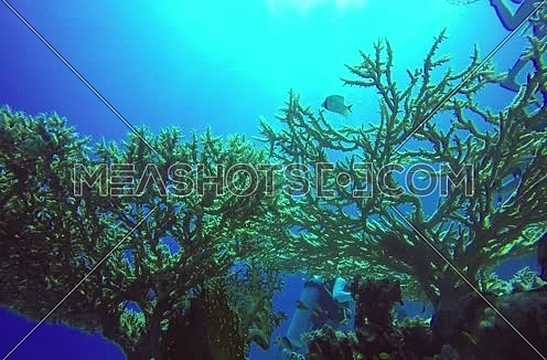 Long  shot for a scuba diver and hard coral colony underwater at The Red Sea