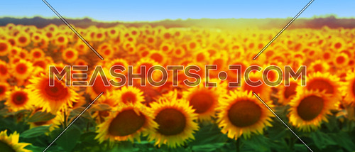 Sunflower Golden Field Blured Background
