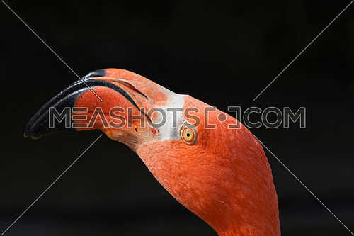 Close up side profile portrait of pink orange flamingo, head with beak, over black background, low angle view