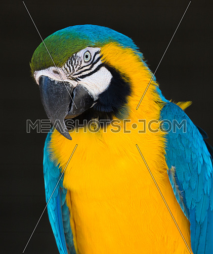 Beautiful Blue and Gold Macaw parrot with large beak looking intently