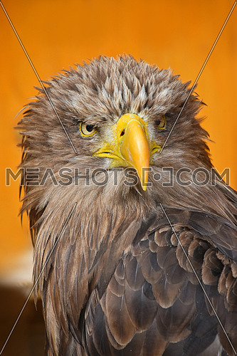 Close up front portrait of one white-tailed sea eagle (Haliaeetus albicilla) looking at camera over yellow orange background, low angle view