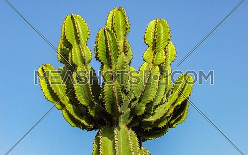 Prickly pear cactus (Opuntia ficus-indica, also known as Indian fig opuntia, barbary fig, cactus pear, spineless cactus)