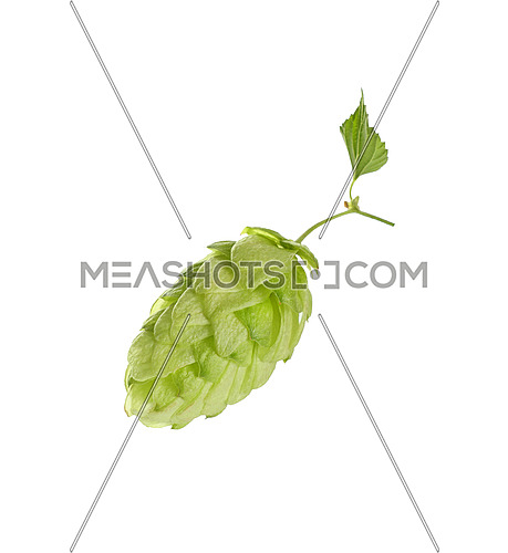 Close up one cone of fresh green hop on branch with leaf, ingredient for beer or herbal medicine, isolated on white background, low angle side view