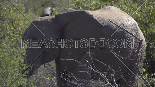 View of a young male elephant walking in the bush
