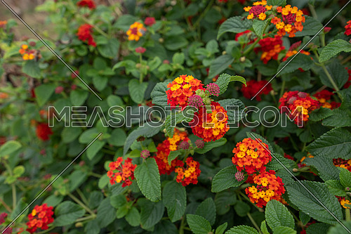 Lantana Camara, Colorful Hedge Flower is very common in the south and tropical climates