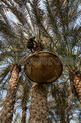 A man on a tree harvesting dates from a palm tree during harvest season موسم حصاد بلح النخيل