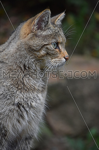 European wildcat side profile portrait close up