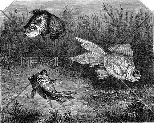 Variety of Goldfish. Cyprinid telescopes, vintage engraved illustration. Magasin Pittoresque 1873.