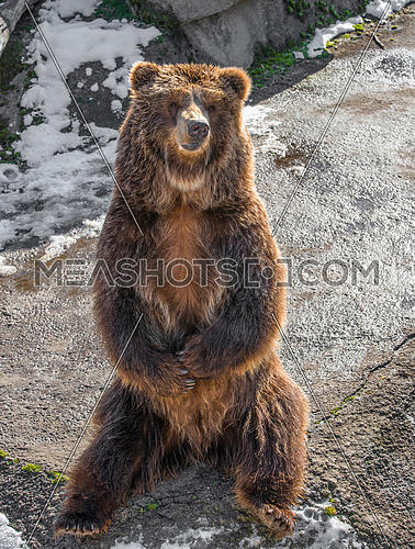 Brown  grizzly bear on a rock.Clouse-up