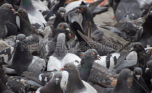 Close up flock of many pigeon birds on the ground, high angle view, selective focus
