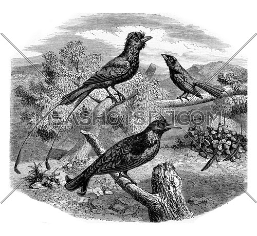 The Drongos, vintage engraved illustration. Magasin Pittoresque 1882.