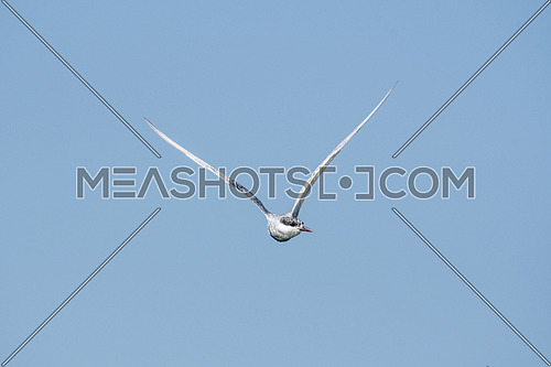 Common tern (Sterna hirundo) Flying In The Blue Sky. Wildlife in natural habitat