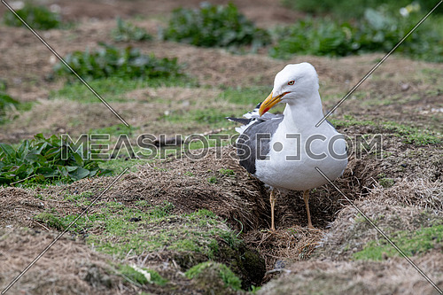 European Herring Gull (Larus argentatus) is one of the best known of all gulls along the shores of Western Europe.