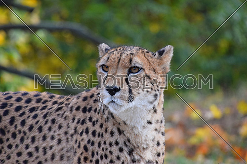 Close up portrait of cheetah (Acinonyx jubatus) looking aside of camera, low angle view