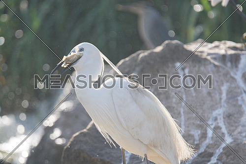 Little Egret bird eating a fish
