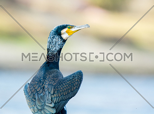 Great Cormorant Portrait Shot