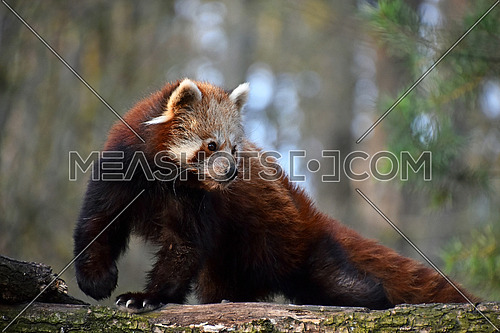 One red panda (Ailurus fulgens, lesser panda) close up side profile portrait on tree, looking away from camera, low angle view