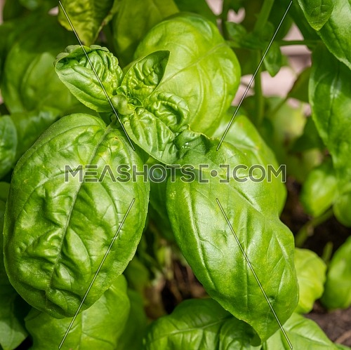 Fresh homegrown basil growing in flower pot,close up.Plant care, hobbies.