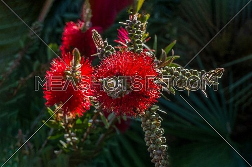 A red colour spiky bottlebrush bush (Callistemon)